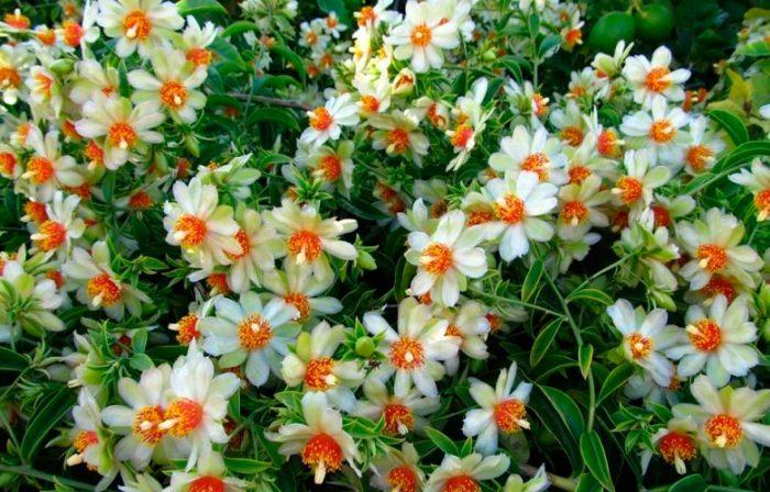 Переския шиповатая (Pereskia aculeata)