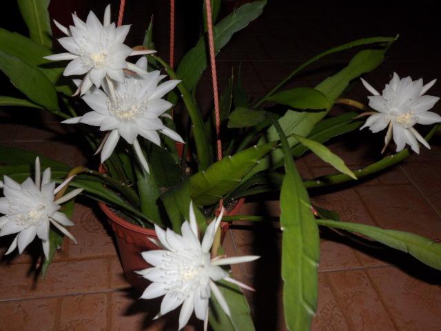 Эпифиллум остролепестный (Epiphyllum oxypetalum)