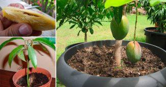 манго из косточки