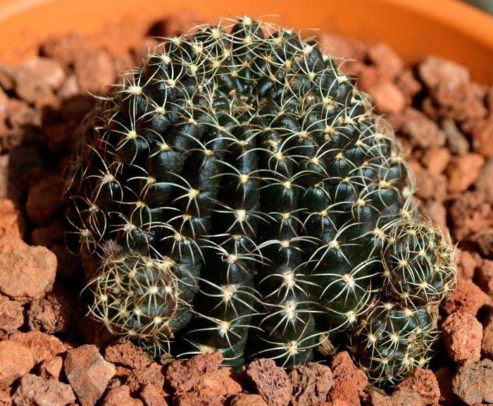 Эхинопсис крючконосный