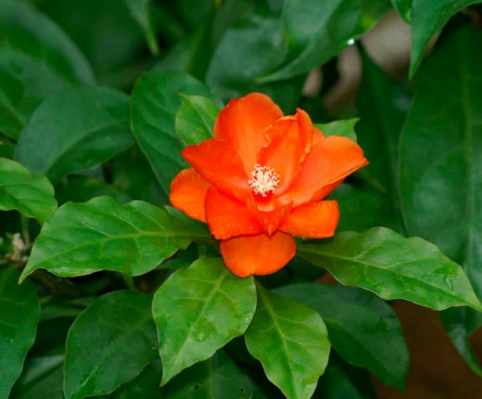 Переския оранжевая