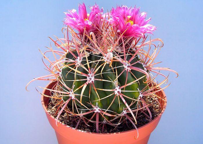 Ферокактус Форда (Ferocactus fordii)