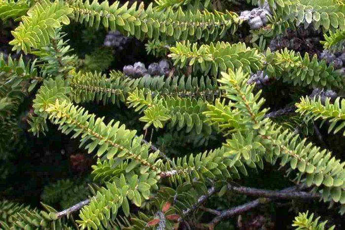 Мелалеука диосмолистная (Melaleuca diosmifolia)