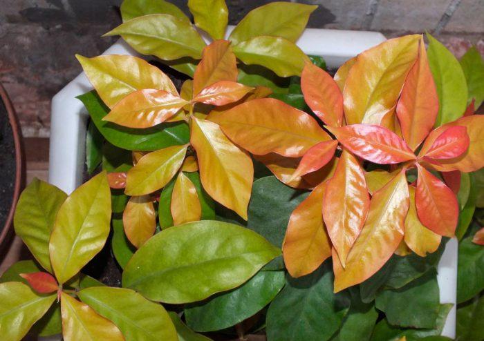 Переския Годсеффа (Pereskia aculeata var. godseffiana)
