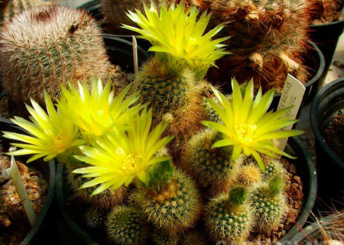 Нотокактус рехский (Notocactus rechensis)