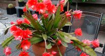 Эпифиллюм Акермана (Epiphyllum ackermannii)