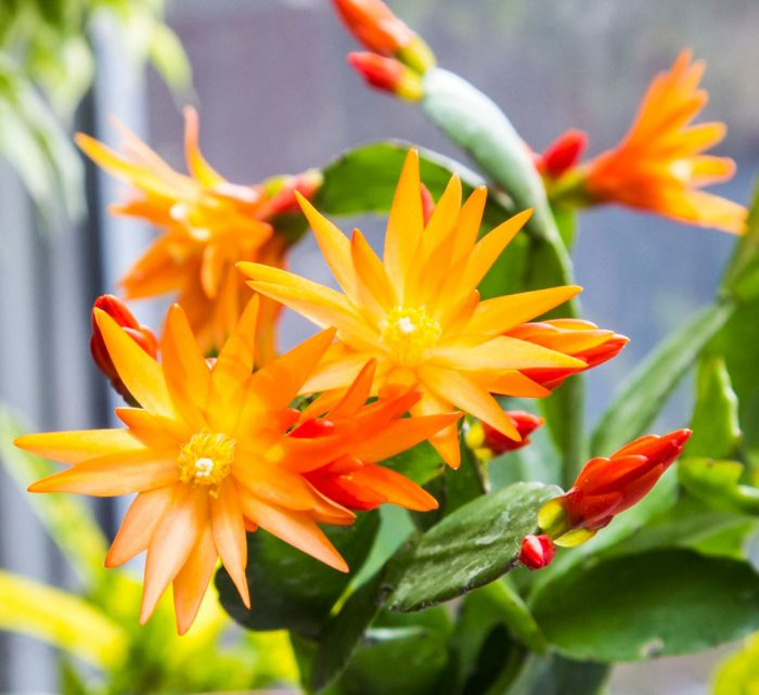 Рипсалидопсис Ауриго оранжевый