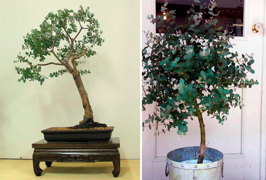 эвкалипт дерево домашнее