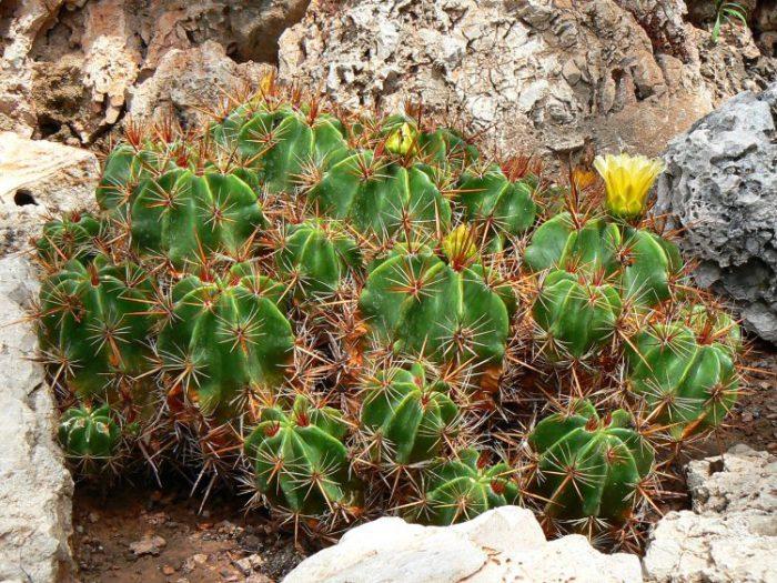 Ферокактус мощный (Ferocactus robustus)