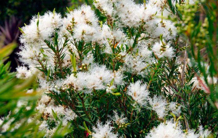 Мелалеука льняная (Melaleuca linariifolia)