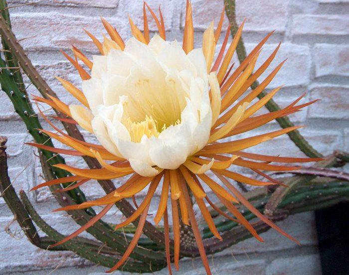 Селеницереус крупноцветковый (Selenicereus grandiflorus)