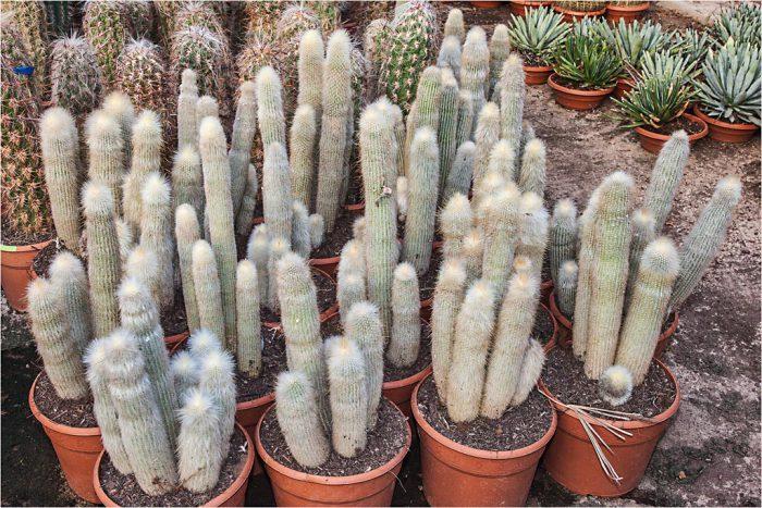 Клейстокактус Штрауса (Cleistocactus strausii)