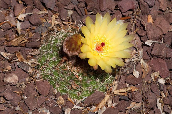 Нотокактус плитчатый или плоский (Notocactus tabularis)