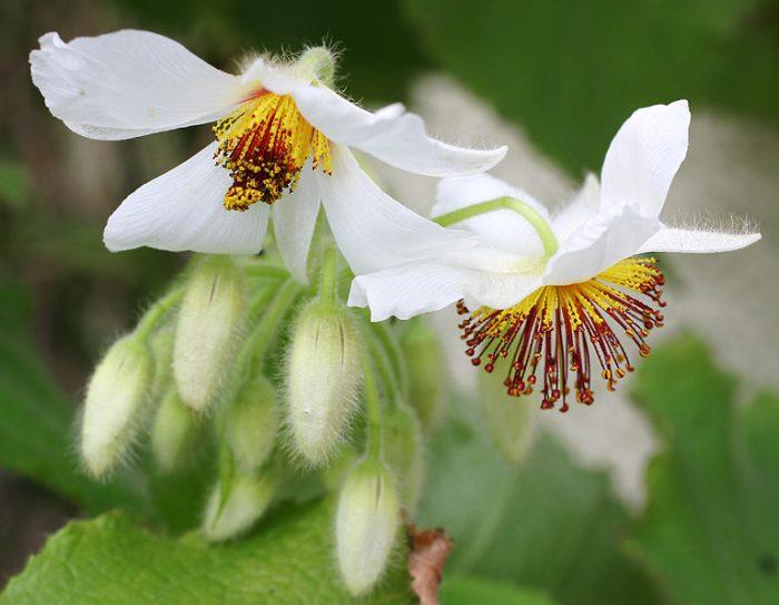 спарманию африканскую(Sparmannia africana)