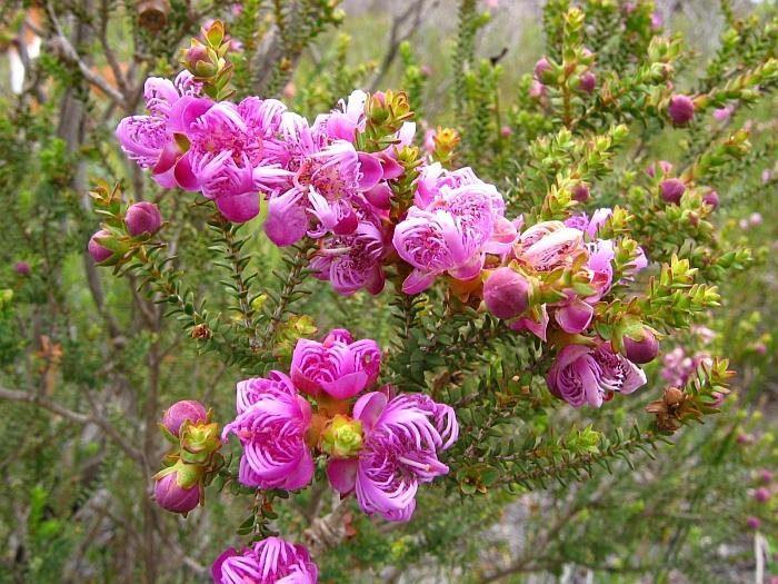 Мелалеука красивая (Melaleuca pulchella)