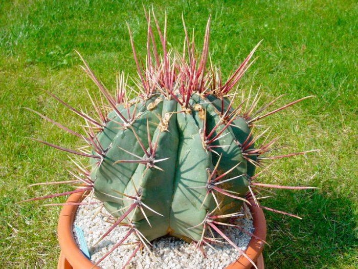 Ферокактус прямоколючковый (Ferocactus rectispinus)