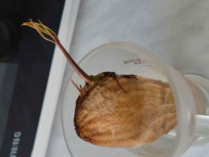 манго Проращивание косточки