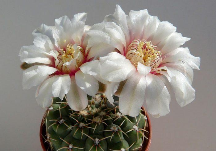 Гимнокалициум Квеля (Gymnocalycium quehlianum)