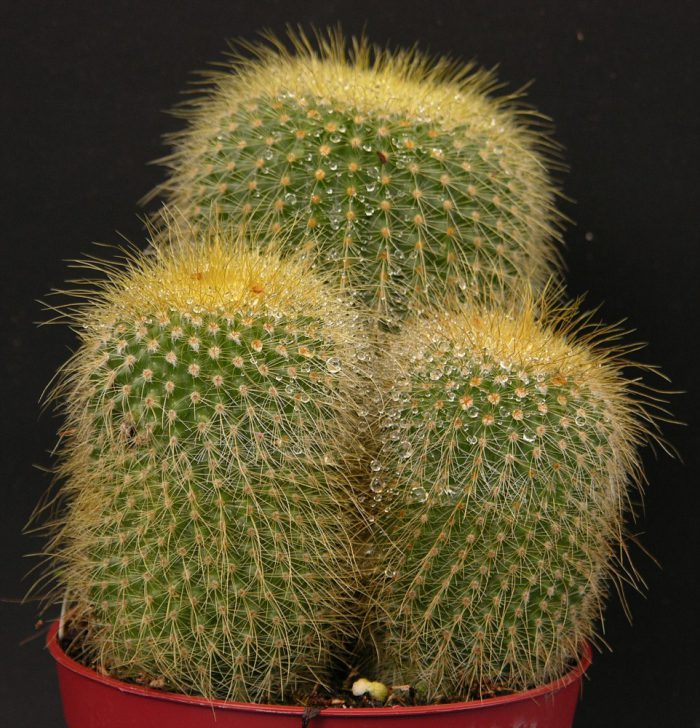 Нотокактус Ленингхауза (Notocactus leninghausii)