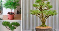 Чайное дерево (мелалеука)