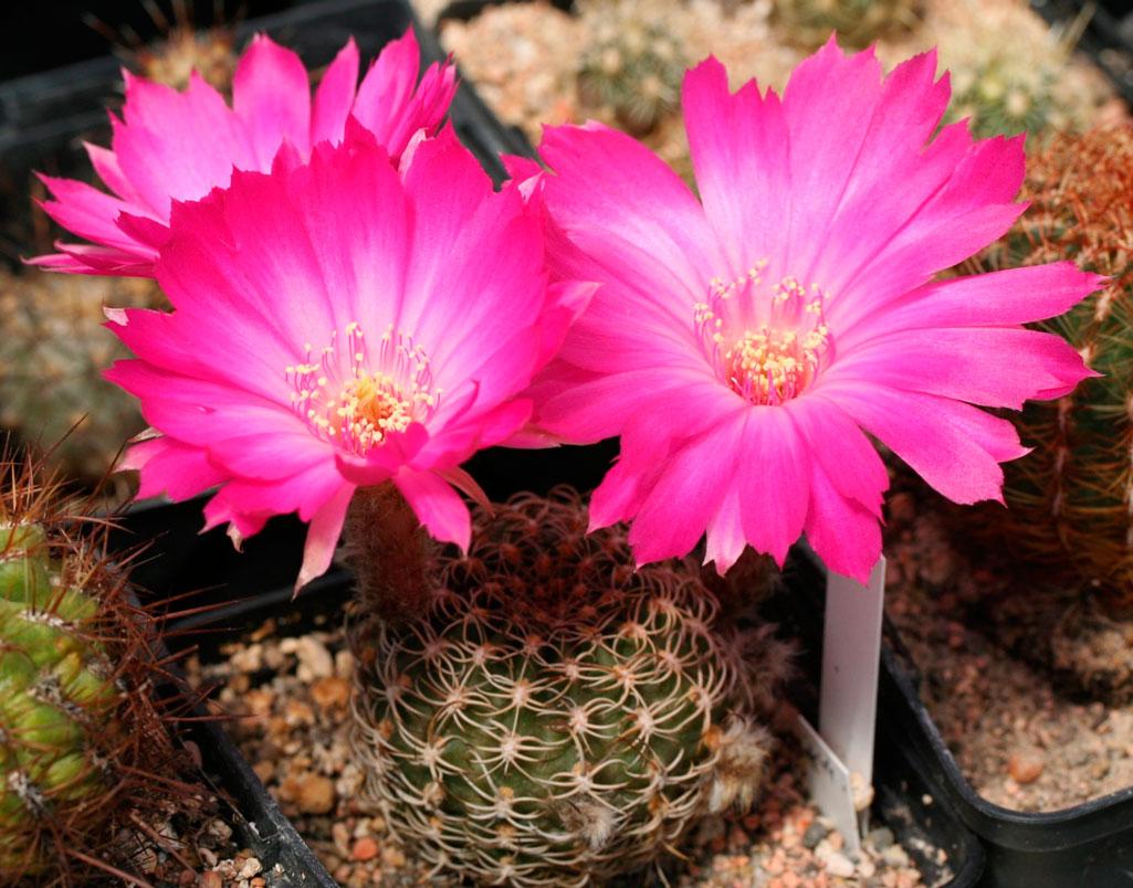 Комнатные цветы из кактусовых