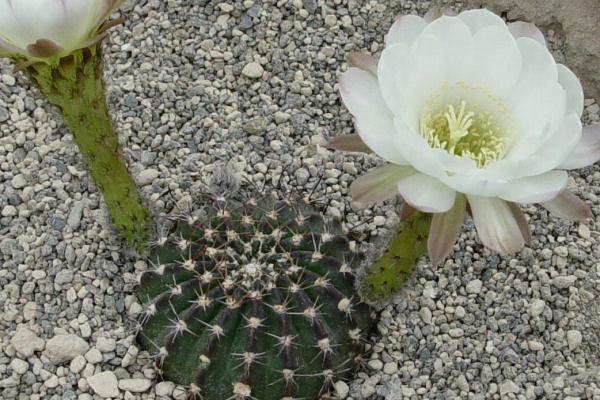 Эхинопсис крючконосный (Echinopsis ancistrophora)