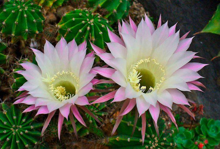 Эхинопсис острогранный (Echinopsis oxigona)