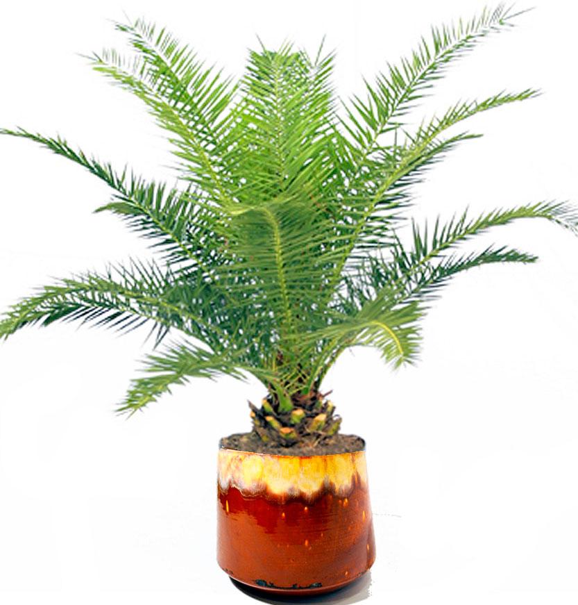Финик робелини уход в домашних условиях — финиковая пальма робелена