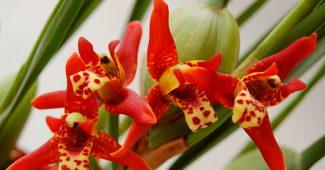 Орхидея максиллярия