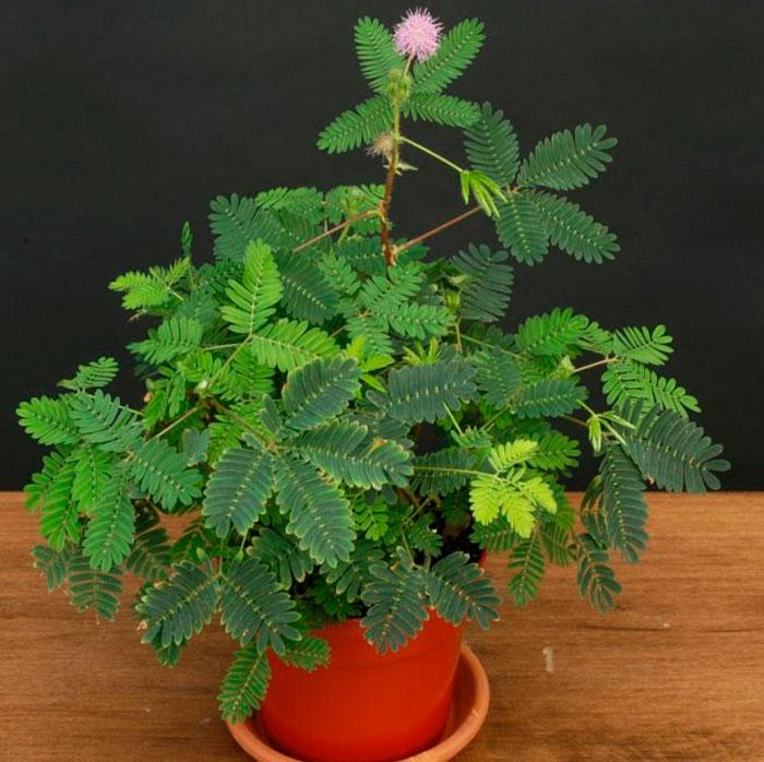 мимоза стыдливая выращивание из семян в домашних