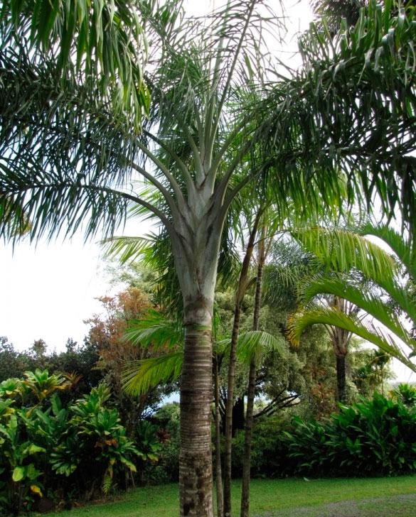 Хризалидокарпус мадагаскарский (Chrysalidocarpus madagascariensis)