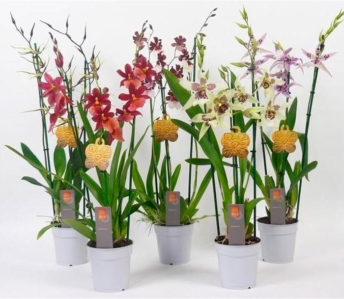Советы по выращиванию орхидеи Камбрия