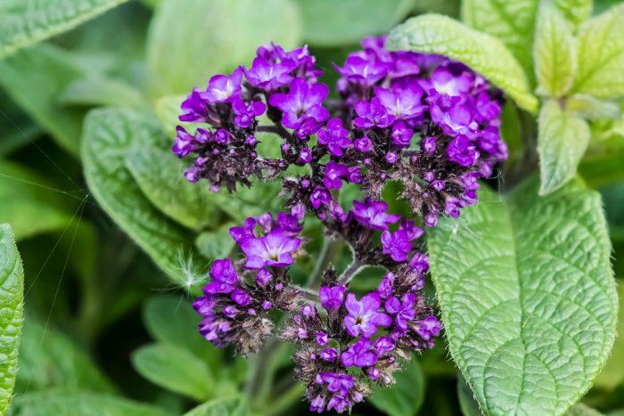 Цветок гелиотроп выращивание из семян, фото, уход и 33