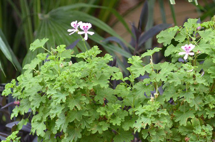 Пеларгония курчавая (Pelargonium crispum)