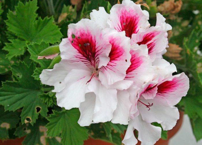 Пеларгония крупноцветковая (Pelargonium grandiflorum)