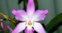 Орхидея лелия