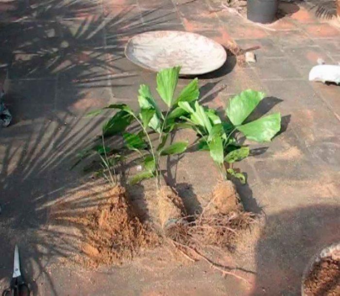Пересадка пальмы кариота