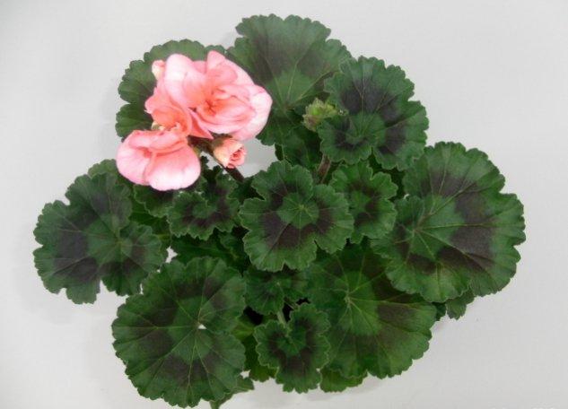 Пеларгония зональная (Pelargonium zonale)