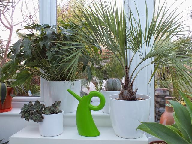Уход за пальмой бутией в домашних условиях