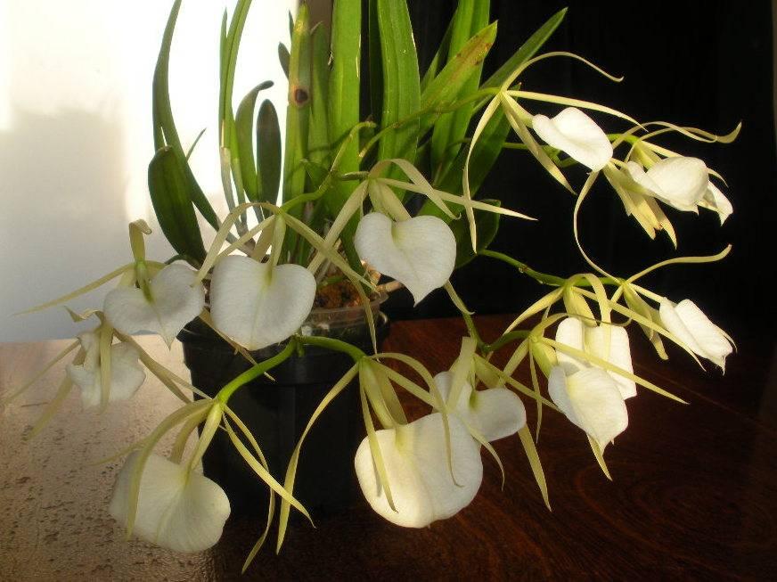 орхидеи с воздушными корнями уход в домашних условиях