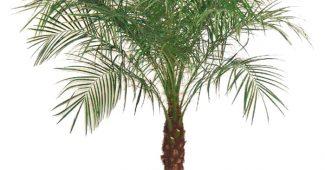 Пальма феникс