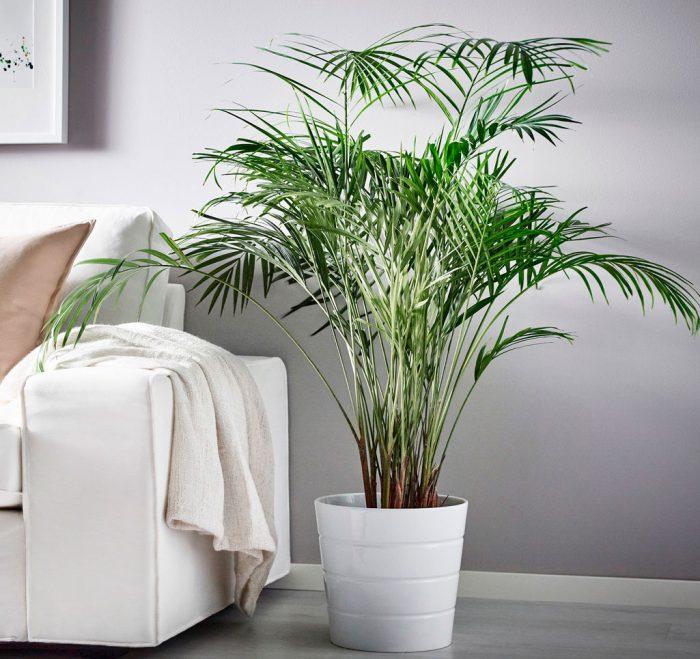 Уход за хризалидокарпусом в домашних условиях
