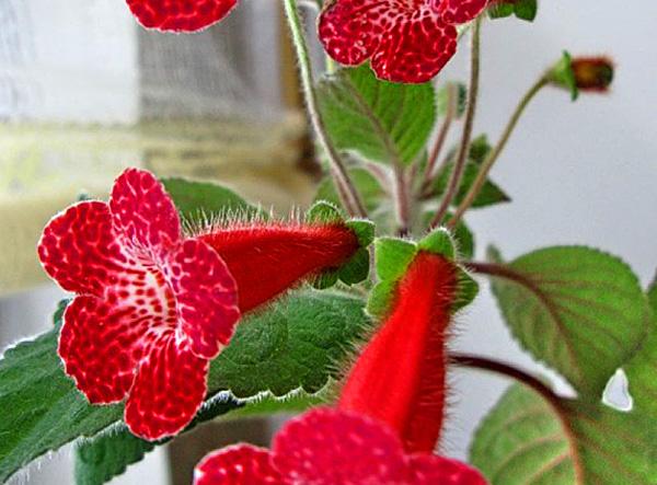 Смитианта гибридная (Smithiantha x hybrida)