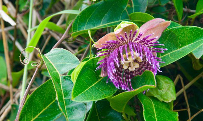 Пассифлора лавролистная (Passiflora laurifolia)