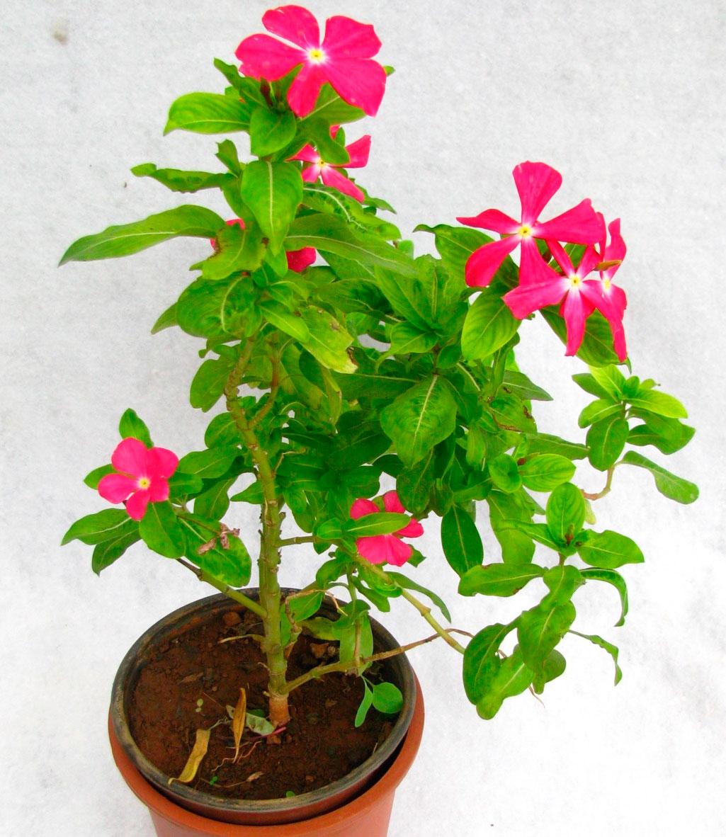 Катарантус: выращивание из семян и уход в домашних условиях