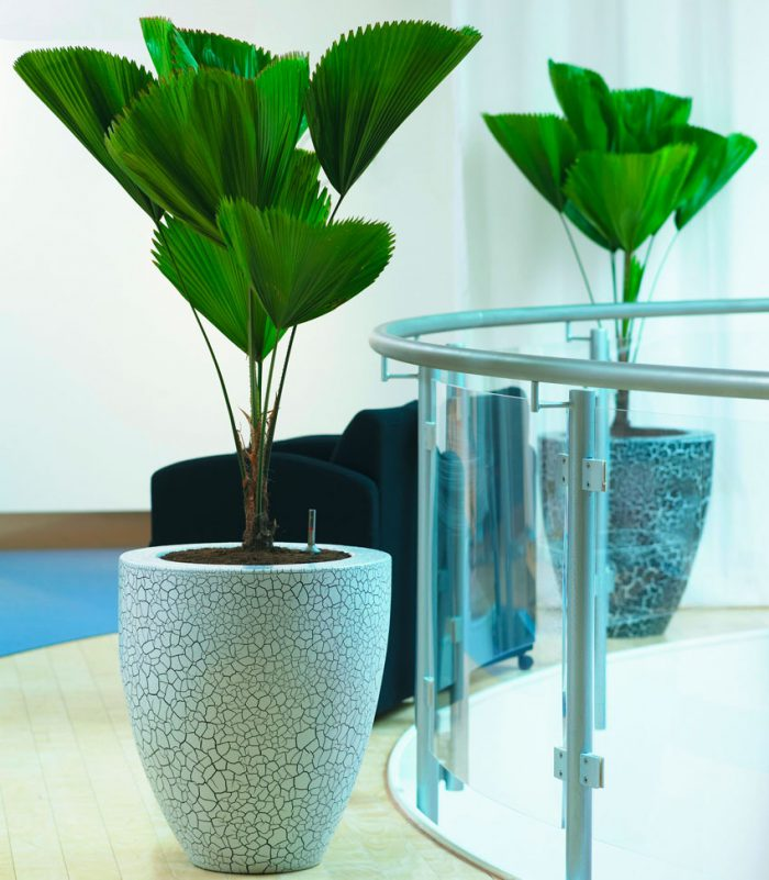 Уход за пальмой ликуалой в домашних условиях