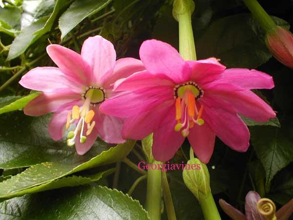 Пассифлора нежнейшая (Passiflora mollissima)