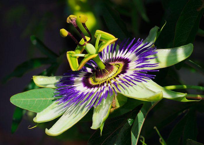 Пассифлора голубая (Passiflora caerulea)