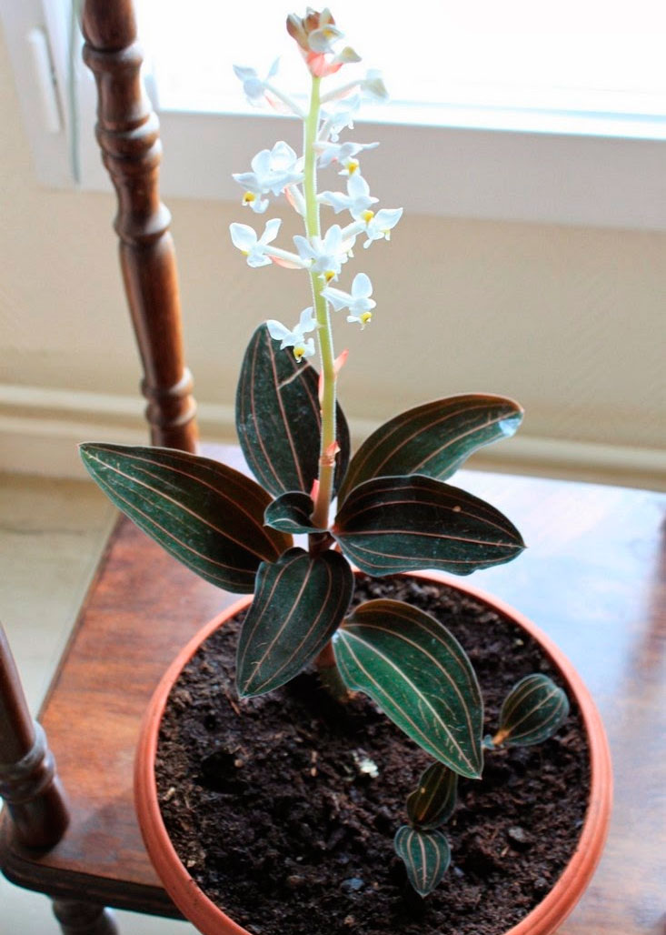 Орхидея лудизия картинки