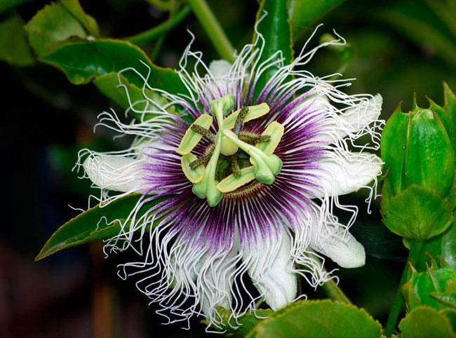 Пассифлора съедобная (Passiflora edulis)